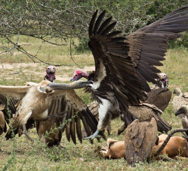 waperd vultures scavenging