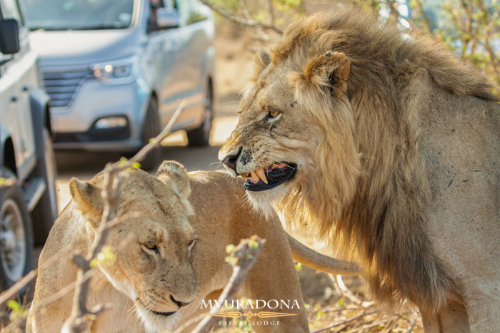 Mating Lions in Kruger Park , more about marloth park